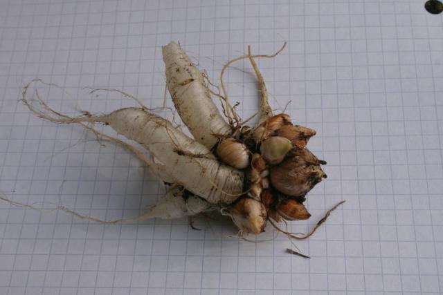 Pacific Bulb Society Miscellaneous Oxalis