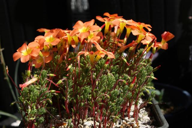 Pacific Bulb Society South African Oxalis Six