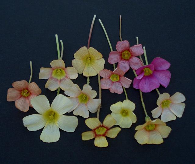 Pacific Bulb Society Oxalis Obtusa
