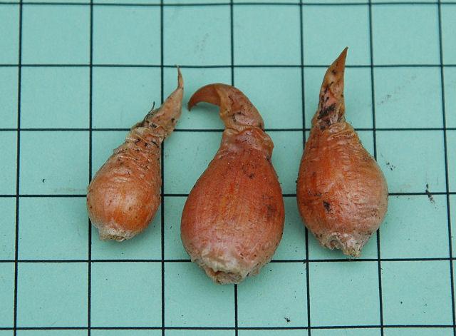 1 bulb Oxalis palmifrons