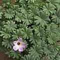 Oxalis adenophylla 15th April 2014, David Pilling