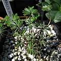 Oxalis adenophylla, Argentina form, Nhu Nguyen