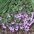Oxalis adenophylla, Bob Rutemoeller