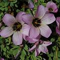 Oxalis adenophylla, Bob Rutemoeller [Shift+click to enlarge, Click to go to wiki entry]