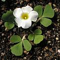 Oxalis ambigua MV4967, Mary Sue Ittner [Shift+click to enlarge, Click to go to wiki entry]