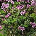 Oxalis articulata ssp. rubra, Nhu Nguyen