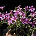 Oxalis articulata ssp. articulata, Nhu Nguyen