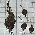 Oxalis attaquana bulbs, Christiaan van Schalkwyk