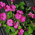 Oxalis bowiei, Mary Sue Ittner
