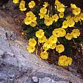 Oxalis bulbocastanum, Jane McGary [Shift+click to enlarge, Click to go to wiki entry]