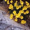 Oxalis bulbocastanum, Jane McGary