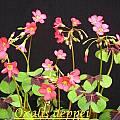 Oxalis tetraphylla 'Iron Cross', Bill Dijk