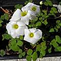 Oxalis depressa MV4871, Mary Sue Ittner [Shift+click to enlarge, Click to go to wiki entry]