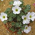 Oxalis enneaphylla 'Lady Elizabeth', Bob Rutemoeller