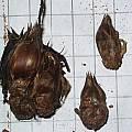 Oxalis exserta bulb, Christiaan van Schalkwyk