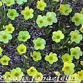Oxalis fabaefolia, Bill Dijk