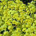 Oxalis flava var. fabaefolia, syn. Oxalis fabaefolia, Bill Dijk