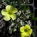 Oxalis fabaefolia, Nhu Nguyen