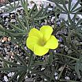Oxalis flava, Bob Rutemoeller [Shift+click to enlarge, Click to go to wiki entry]