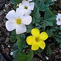 Oxalis flava, lupinifolia form, mixed colors, Mary Sue Ittner