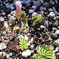 Oxalis flava pink, Mary Sue Ittner