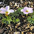 Oxalis flava pink, Mary Sue Ittner