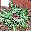 Oxalis flaviuscula var longifolia morning, Christiaan van Schalkwyk