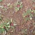Oxalis flaviuscula var longifolia habitat, Christiaan van Schalkwyk