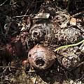 Oxalis floribunda ssp. ostenii, Nhu Nguyen