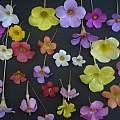 Oxalis flowers, Ron Vanderhoff
