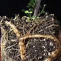 Oxalis gigantea, Nhu Nguyen