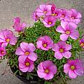 Oxalis glabra, Lyn Edwards