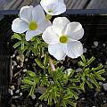 Oxalis goniorhiza, Mary Sue Ittner [Shift+click to enlarge, Click to go to wiki entry]