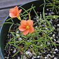 Oxalis gracilis, Mary Sue Ittner [Shift+click to enlarge, Click to go to wiki entry]
