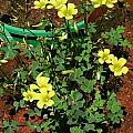 Oxalis haedulipes, Christiaan van Schalkwyk [Shift+click to enlarge, Click to go to wiki entry]