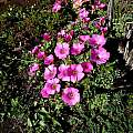 Oxalis heterophylla, Middelpos, Cameron McMaster [Shift+click to enlarge, Click to go to wiki entry]