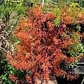 Oxalis hirta 'Mauve' leaves, Nhu Nguyen
