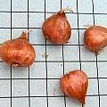 Oxalis hirta bulb, Mary Sue Ittner