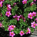 Oxalis hirta, Mary Sue Ittner [Shift+click to enlarge, Click to go to wiki entry]