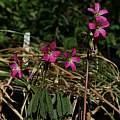 Oxalis lasiandra, Nhu Nguyen
