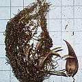 Oxalis lawsonii bulb, Griekwastad, Christiaan van Schalkwyk