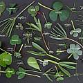 Oxalis leaves identified, Ron Vanderhoff