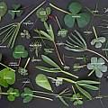 Oxalis leaves identified, Ron Vanderhoff