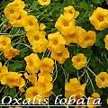 Oxalis perdicaria, Bill Dijk