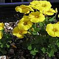 Oxalis perdicaria, Mary Sue Ittner