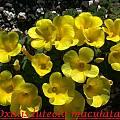 Oxalis luteola 'Maculata', Bill Dijk