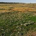 Oxalis massoniana, Nieuwoudtville, Christiaan van Schalkwyk