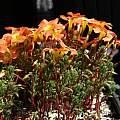 Oxalis massoniana, Nhu Nguyen