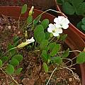 Oxalis monophylla, Christiaan van Schalkwyk [Shift+click to enlarge, Click to go to wiki entry]
