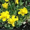 Oxalis namaquana Uli 54, Mary Sue Ittner